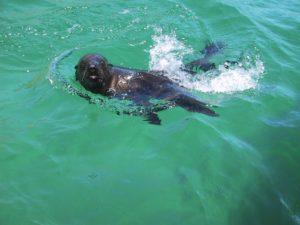 Seehund vor Robberg Island