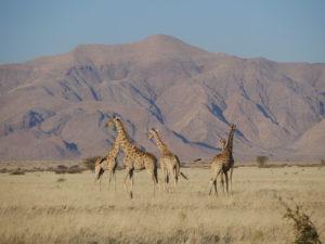 Giraffen bei der Namib Desert Lodge